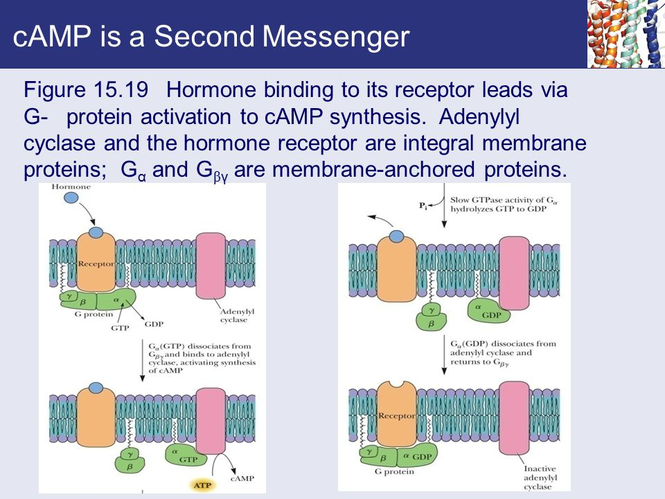 cAMP is a Second Messenger Figure 15.19 Hormone binding to its receptor leads via G- protein activation to cAMP synthesis. Adenylyl cyclase and the ho