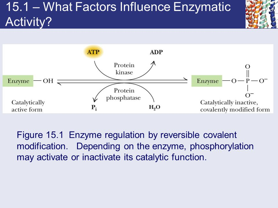15.1 – What Factors Influence Enzymatic Activity? Figure 15.1 Enzyme regulation by reversible covalent modification. Depending on the enzyme, phosphor