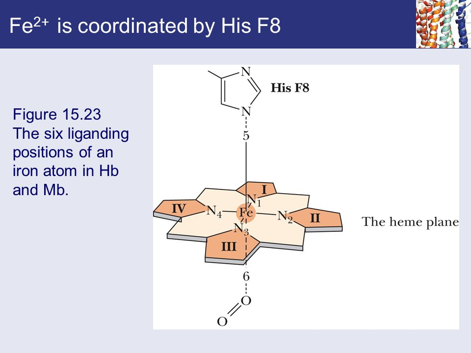 Fe 2+ is coordinated by His F8 Figure 15.23 The six liganding positions of an iron atom in Hb and Mb.