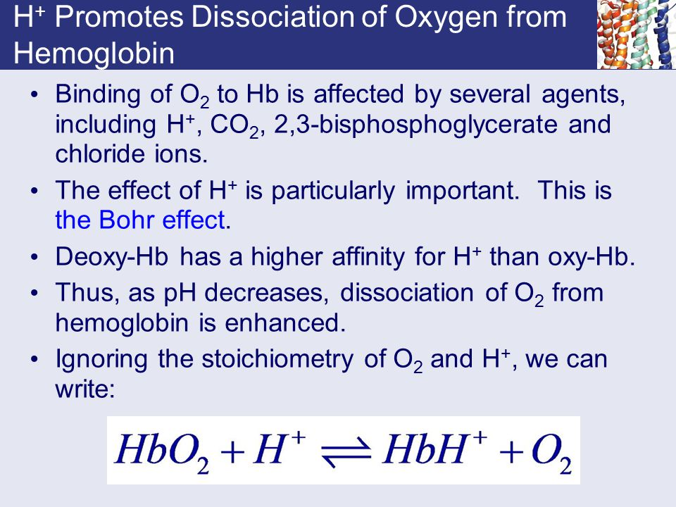 H + Promotes Dissociation of Oxygen from Hemoglobin Binding of O 2 to Hb is affected by several agents, including H +, CO 2, 2,3-bisphosphoglycerate a