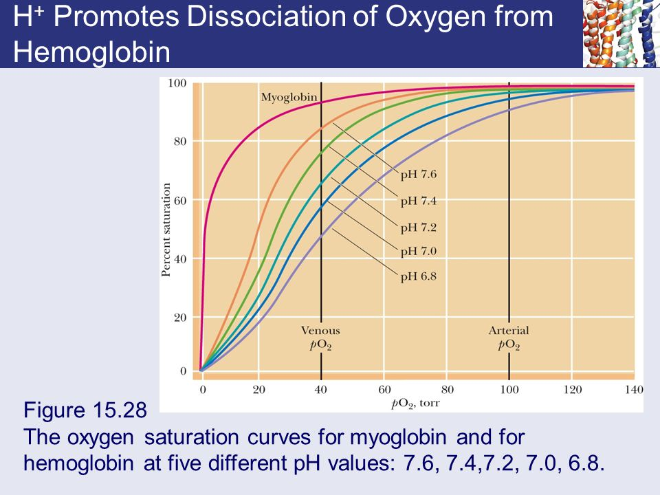 H + Promotes Dissociation of Oxygen from Hemoglobin Figure 15.28 The oxygen saturation curves for myoglobin and for hemoglobin at five different pH va