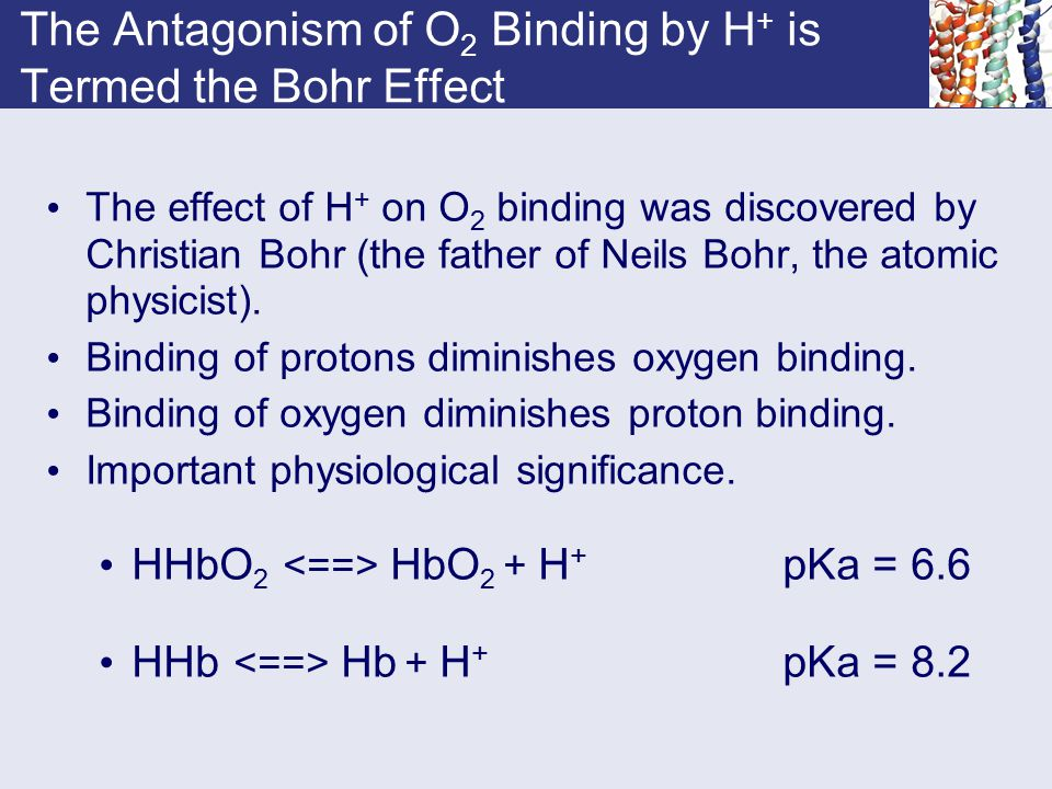 The Antagonism of O 2 Binding by H + is Termed the Bohr Effect The effect of H + on O 2 binding was discovered by Christian Bohr (the father of Neils