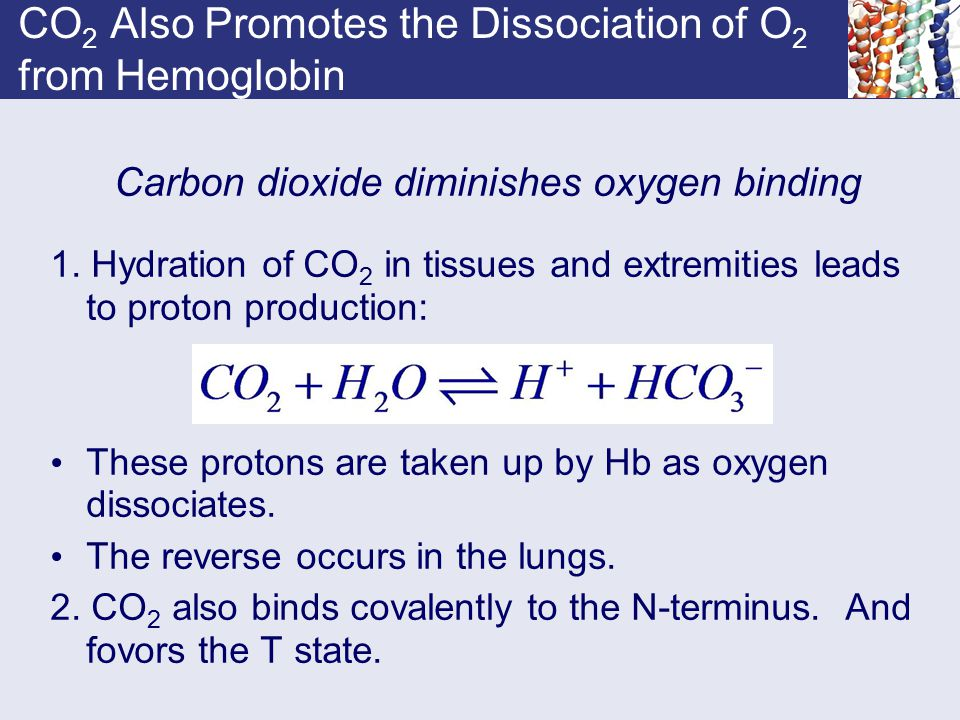 CO 2 Also Promotes the Dissociation of O 2 from Hemoglobin Carbon dioxide diminishes oxygen binding 1. Hydration of CO 2 in tissues and extremities le