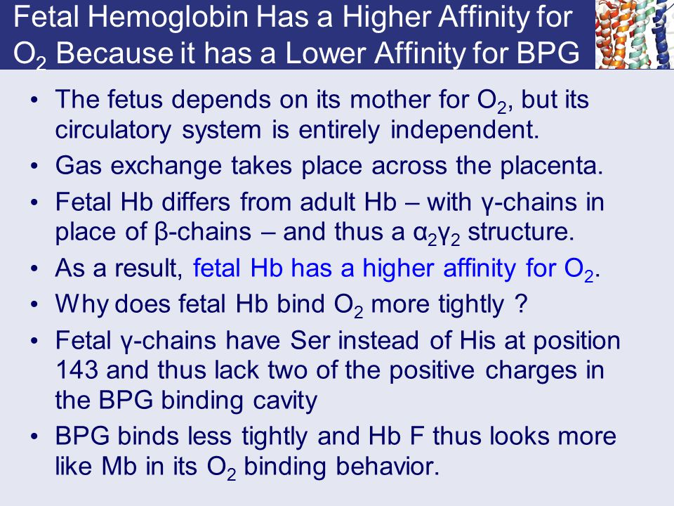 Fetal Hemoglobin Has a Higher Affinity for O 2 Because it has a Lower Affinity for BPG The fetus depends on its mother for O 2, but its circulatory sy