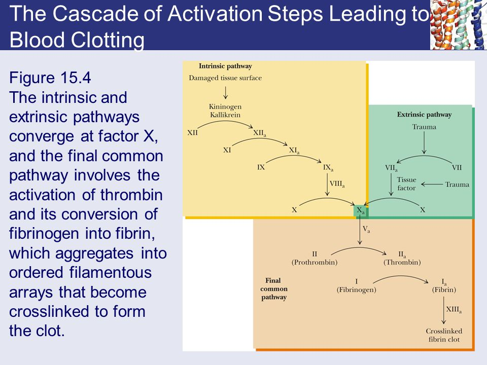 The Cascade of Activation Steps Leading to Blood Clotting Figure 15.4 The intrinsic and extrinsic pathways converge at factor X, and the final common