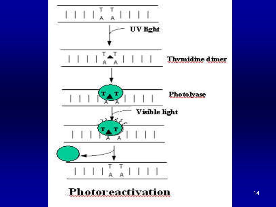 15 DNA REPAIR (2) Excision Repair (aka Dark Repair)