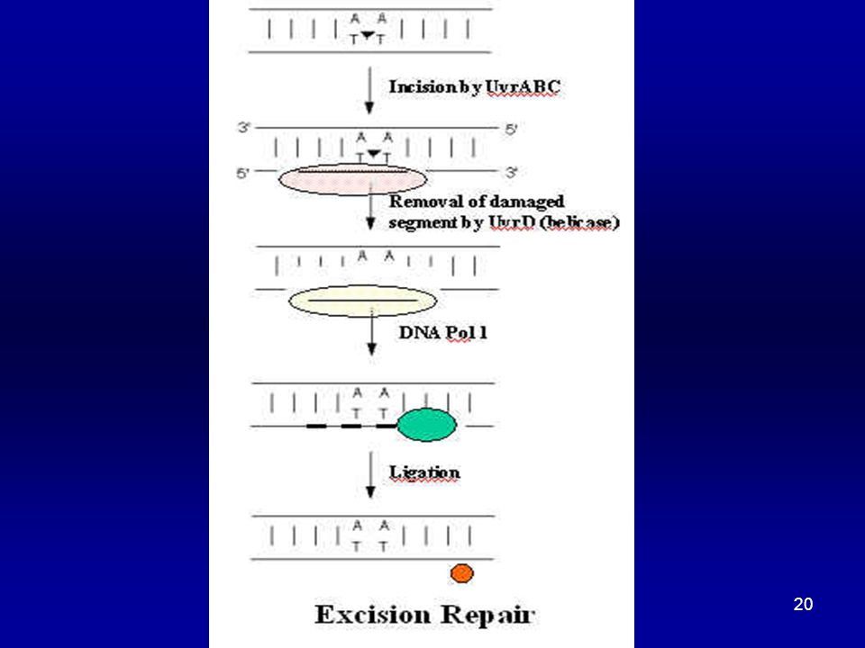 21 NER (UV Damage Repair) Nuclease: can detect T dimer nicks DNA strand on 5 end of dimer (composed of subunits coded by uvrA, uvrB and uvrC genes) UvrA protein and ATP bind to DNA at the distortion UvrB binds to the UvrA-DNA complex and increases specificity of UvrA-ATP complex for irradiated DNA