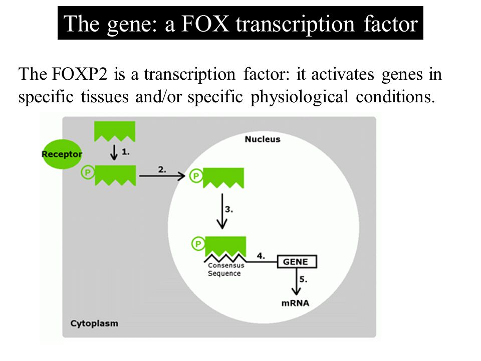 The gene: a FOX transcription factor The FOXP2 is a transcription factor: it activates genes in specific tissues and/or specific physiological conditi