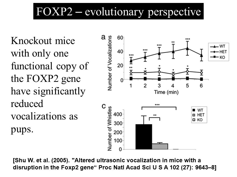Knockout mice with only one functional copy of the FOXP2 gene have significantly reduced vocalizations as pups. [Shu W. et al. (2005).