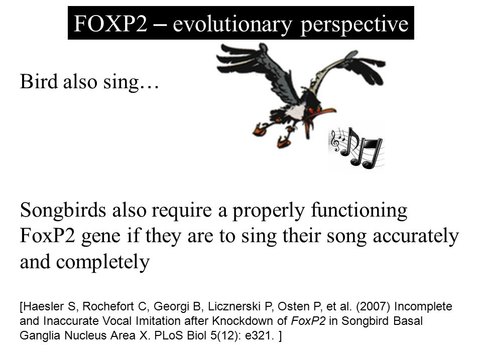 FOXP2 – evolutionary perspective Bird also sing … Songbirds also require a properly functioning FoxP2 gene if they are to sing their song accurately a