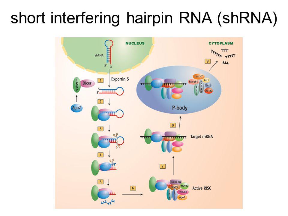 short interfering hairpin RNA (shRNA)