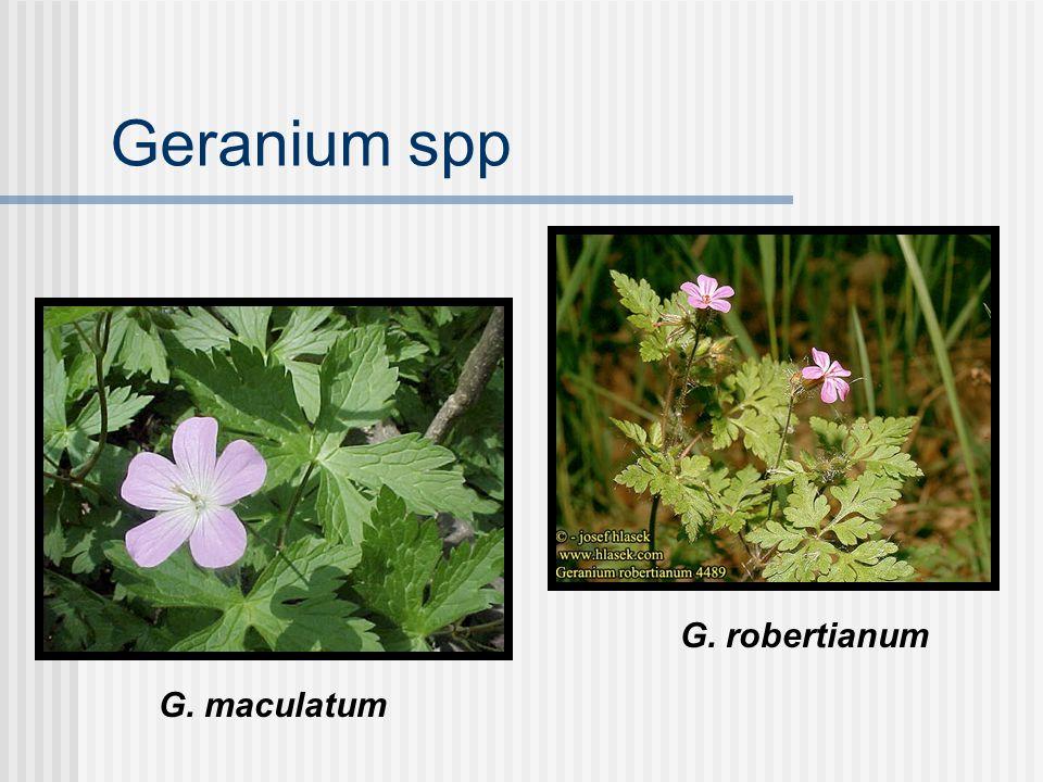 Geranium spp G. maculatum G. robertianum