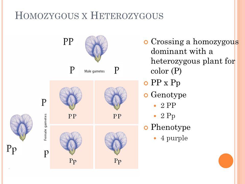 H OMOZYGOUS X H ETEROZYGOUS Crossing a homozygous dominant with a heterozygous plant for color (P) PP x Pp Genotype 2 PP 2 Pp Phenotype 4 purple
