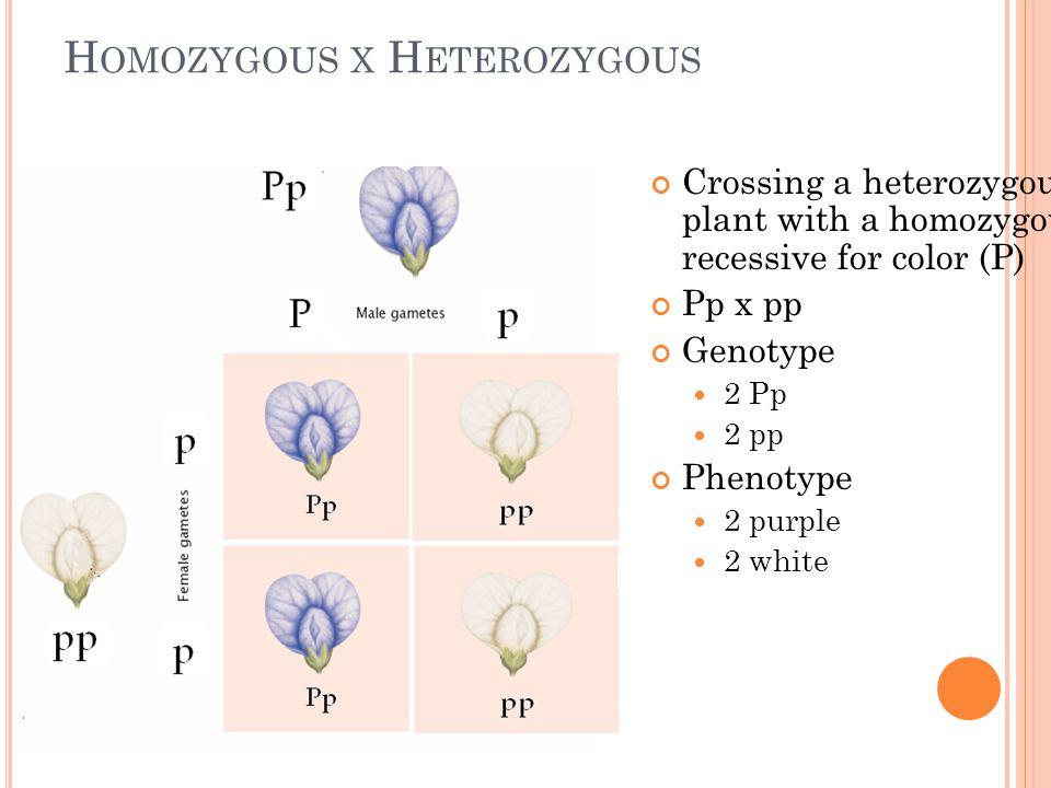 H OMOZYGOUS X H ETEROZYGOUS Crossing a heterozygous plant with a homozygous recessive for color (P) Pp x pp Genotype 2 Pp 2 pp Phenotype 2 purple 2 wh