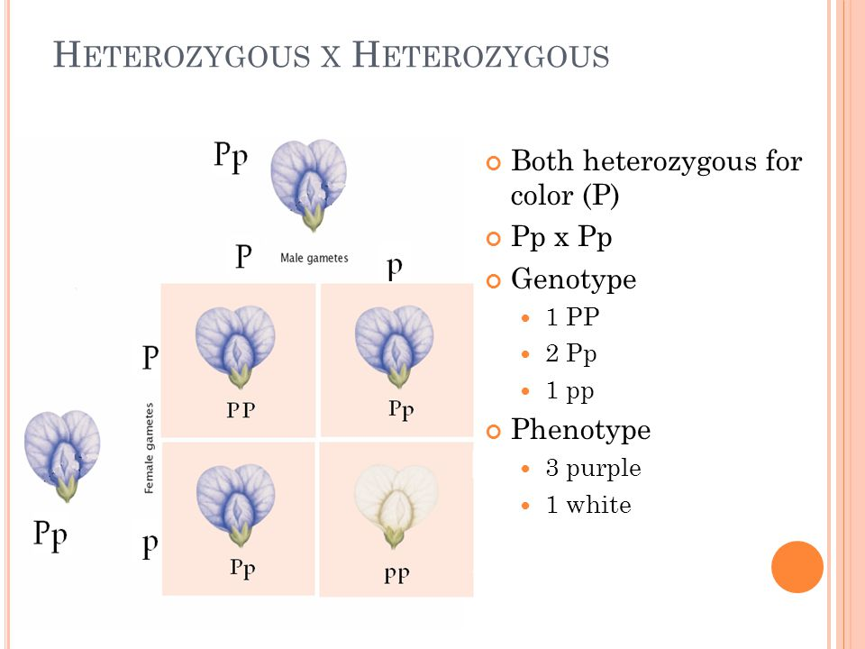 H ETEROZYGOUS X H ETEROZYGOUS Both heterozygous for color (P) Pp x Pp Genotype 1 PP 2 Pp 1 pp Phenotype 3 purple 1 white