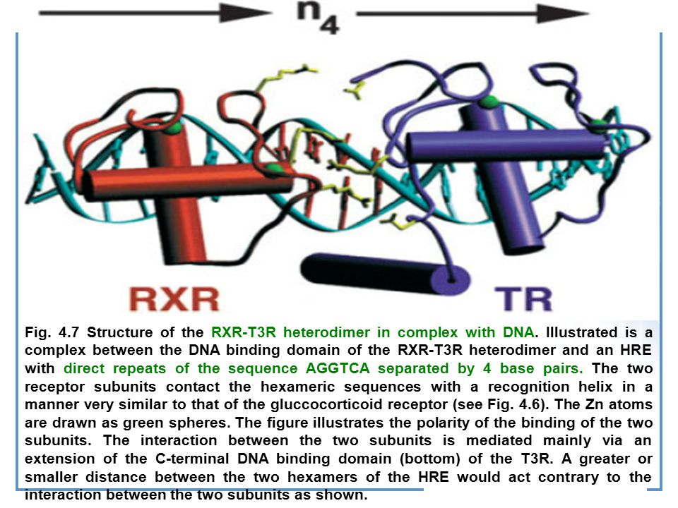 Fig.4.7 Structure of the RXR-T3R heterodimer in complex with DNA.