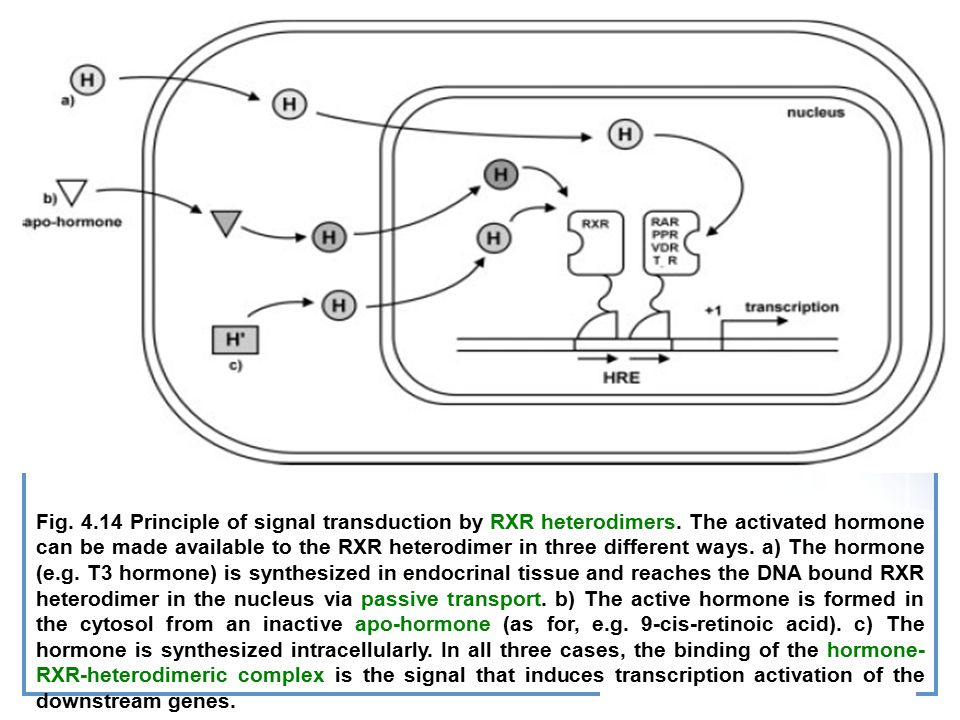 Fig.4.14 Principle of signal transduction by RXR heterodimers.