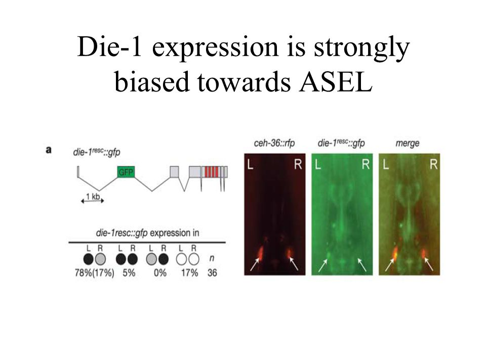 Die-1 expression is strongly biased towards ASEL