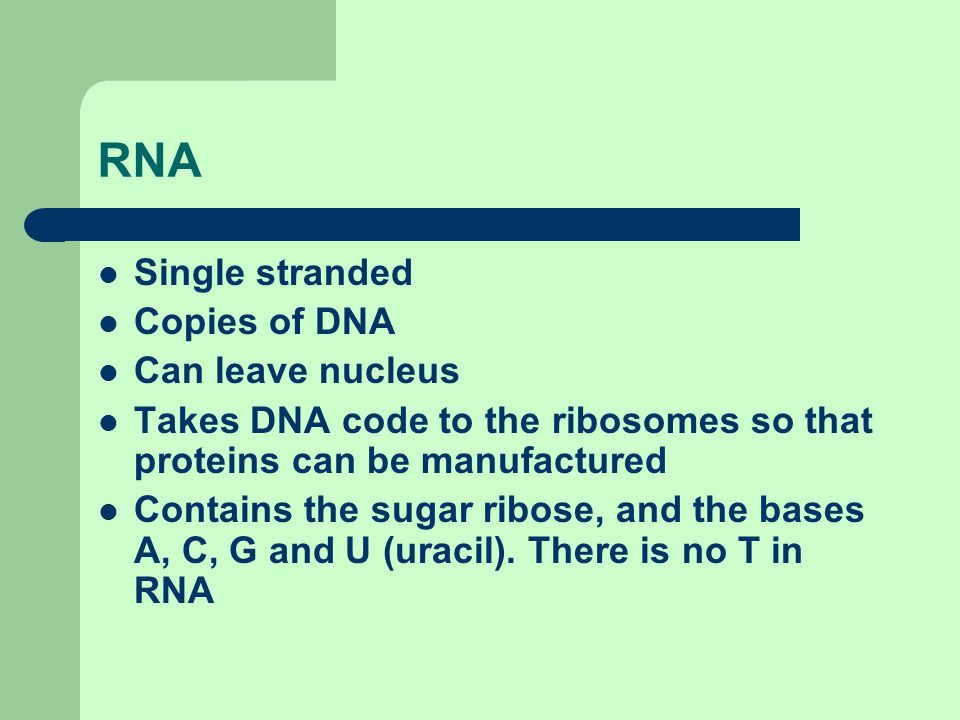RNA Single stranded Copies of DNA Can leave nucleus Takes DNA code to the ribosomes so that proteins can be manufactured Contains the sugar ribose, an