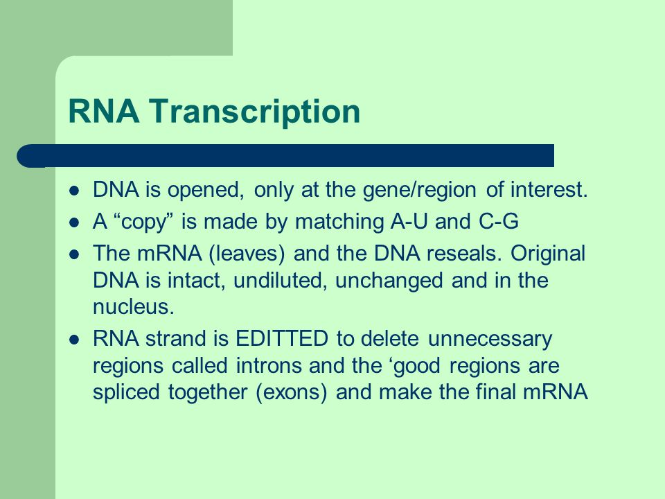 """RNA Transcription DNA is opened, only at the gene/region of interest. A """"copy"""" is made by matching A-U and C-G The mRNA (leaves) and the DNA reseals."""