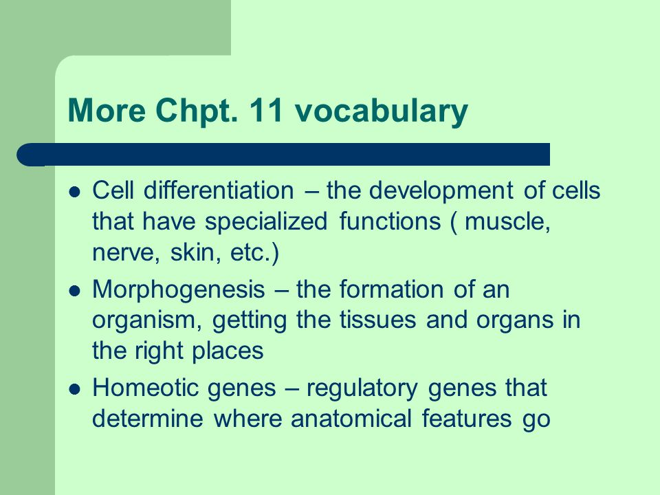 More Chpt. 11 vocabulary Cell differentiation – the development of cells that have specialized functions ( muscle, nerve, skin, etc.) Morphogenesis –