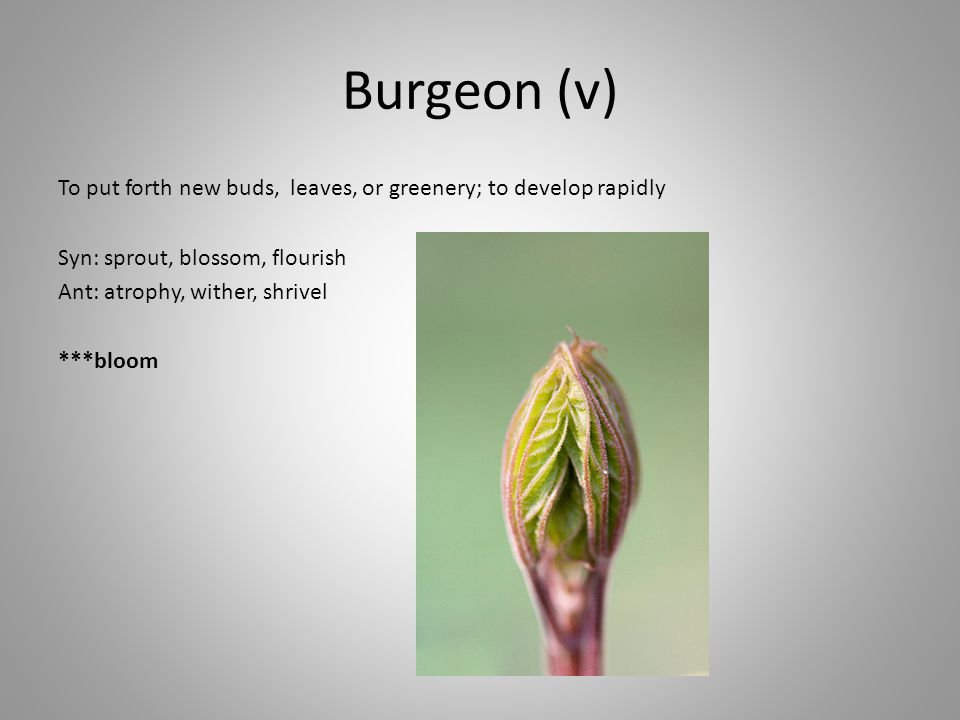 Burgeon (v) To put forth new buds, leaves, or greenery; to develop rapidly Syn: sprout, blossom, flourish Ant: atrophy, wither, shrivel ***bloom