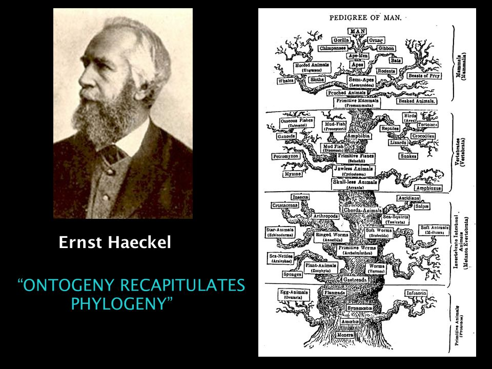 Ernst Haeckel ONTOGENY RECAPITULATES PHYLOGENY HY