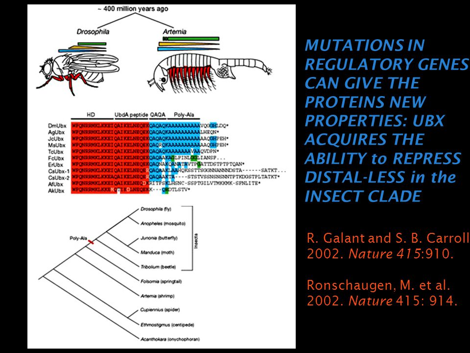MUTATIONS IN REGULATORY GENES CAN GIVE THE PROTEINS NEW PROPERTIES: UBX ACQUIRES THE ABILITY to REPRESS DISTAL-LESS in the INSECT CLADE R. Galant and