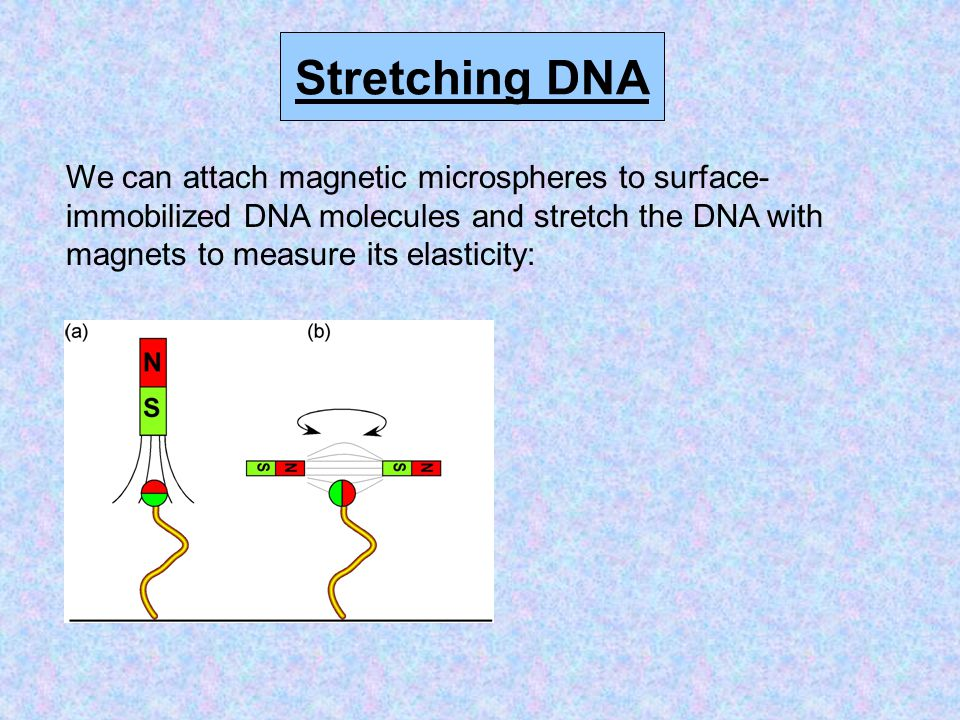 Stretching DNA We can attach magnetic microspheres to surface- immobilized DNA molecules and stretch the DNA with magnets to measure its elasticity: