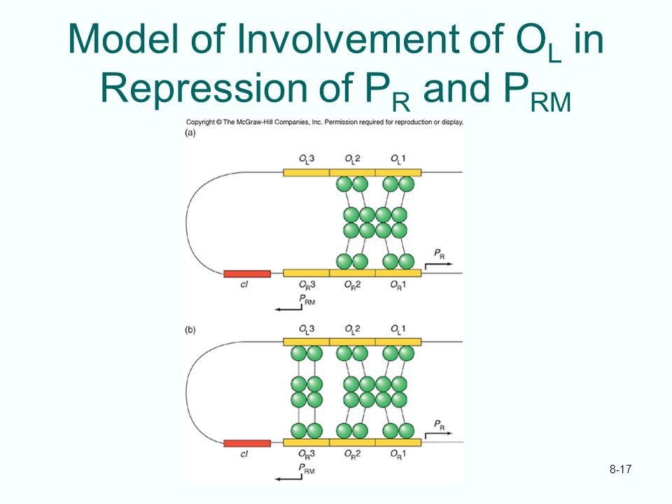 8-17 Model of Involvement of O L in Repression of P R and P RM