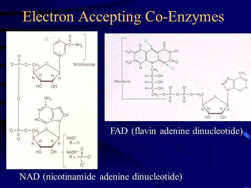 Electron Accepting Co-Enzymes NAD (nicotinamide adenine dinucleotide) FAD (flavin adenine dinucleotide)