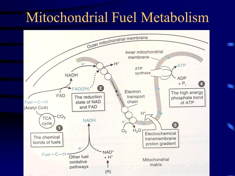Mitochondrial Fuel Metabolism