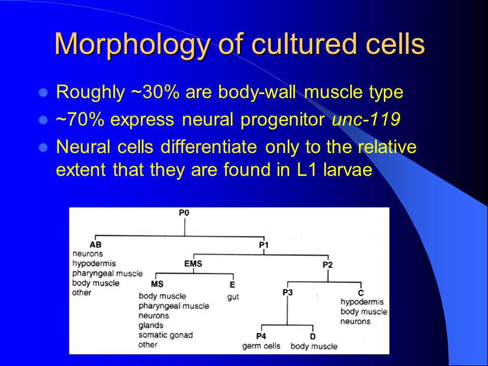 Morphology of cultured cells Roughly ~30% are body-wall muscle type ~70% express neural progenitor unc-119 Neural cells differentiate only to the relative extent that they are found in L1 larvae