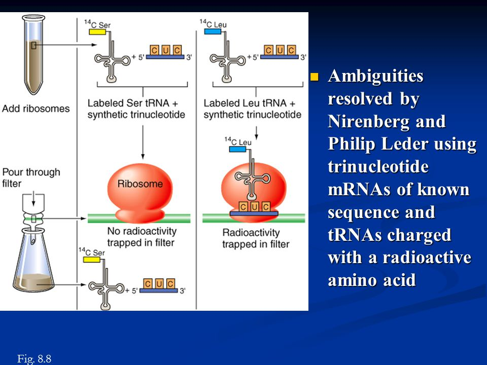 Ambiguities resolved by Nirenberg and Philip Leder using trinucleotide mRNAs of known sequence and tRNAs charged with a radioactive amino acid Ambiguities resolved by Nirenberg and Philip Leder using trinucleotide mRNAs of known sequence and tRNAs charged with a radioactive amino acid Fig.