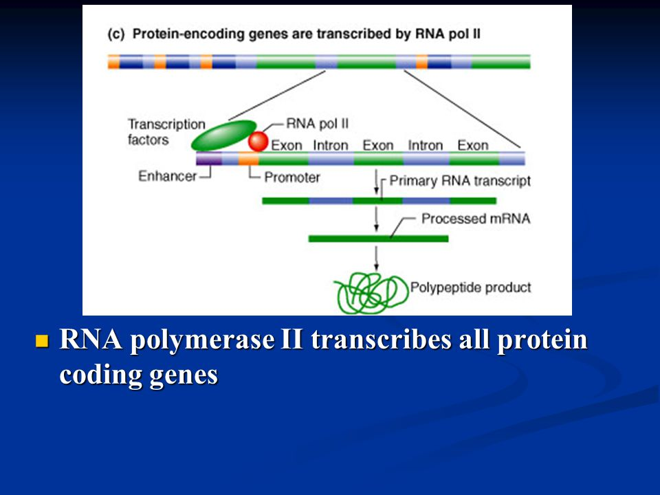 RNA polymerase II transcribes all protein coding genes RNA polymerase II transcribes all protein coding genes