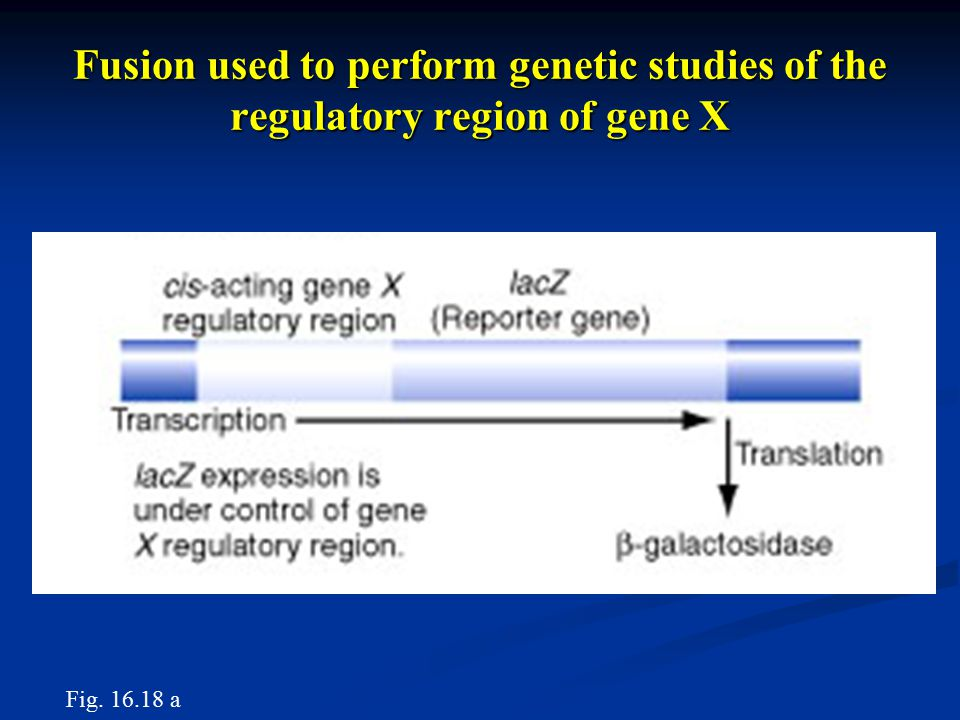 Fusion used to perform genetic studies of the regulatory region of gene X Fig. 16.18 a