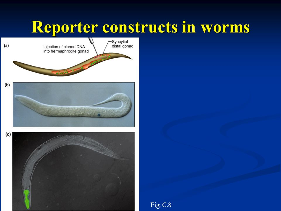 Fig. C.8 Reporter constructs in worms