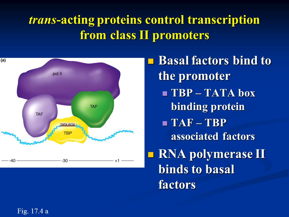 trans-acting proteins control transcription from class II promoters Basal factors bind to the promoter Basal factors bind to the promoter TBP – TATA box binding protein TBP – TATA box binding protein TAF – TBP associated factors TAF – TBP associated factors RNA polymerase II binds to basal factors RNA polymerase II binds to basal factors Fig.