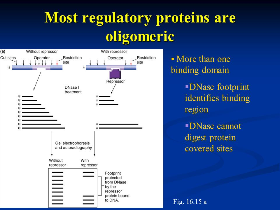 Most regulatory proteins are oligomeric  More than one binding domain  DNase footprint identifies binding region  DNase cannot digest protein covered sites Fig.