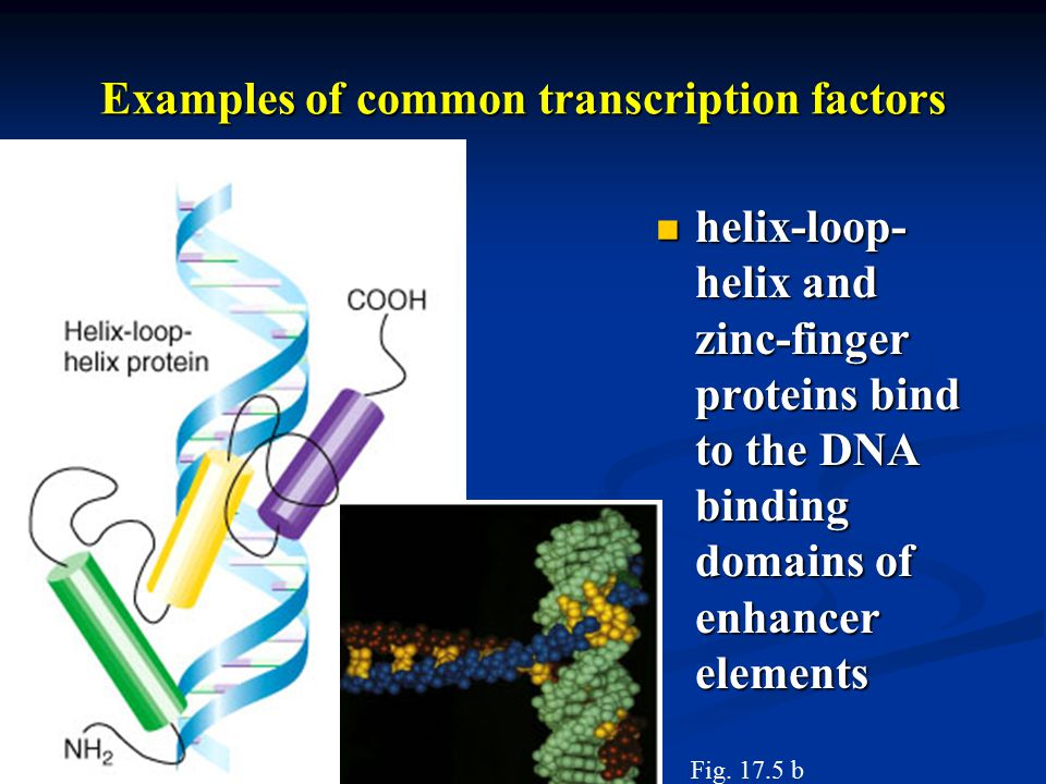 helix-loop- helix and zinc-finger proteins bind to the DNA binding domains of enhancer elements helix-loop- helix and zinc-finger proteins bind to the DNA binding domains of enhancer elements Examples of common transcription factors Fig.