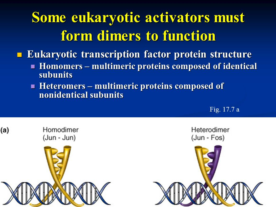 Some eukaryotic activators must form dimers to function Eukaryotic transcription factor protein structure Eukaryotic transcription factor protein structure Homomers – multimeric proteins composed of identical subunits Homomers – multimeric proteins composed of identical subunits Heteromers – multimeric proteins composed of nonidentical subunits Heteromers – multimeric proteins composed of nonidentical subunits Fig.