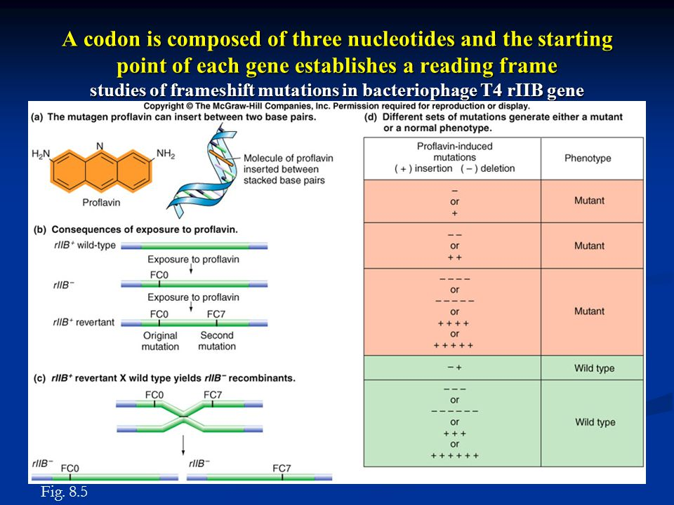 A codon is composed of three nucleotides and the starting point of each gene establishes a reading frame studies of frameshift mutations in bacteriophage T4 rIIB gene Fig.