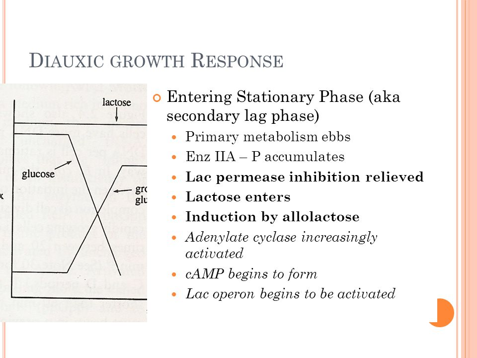 D IAUXIC GROWTH R ESPONSE Entering Stationary Phase (aka secondary lag phase) Primary metabolism ebbs Enz IIA – P accumulates Lac permease inhibition relieved Lactose enters Induction by allolactose Adenylate cyclase increasingly activated cAMP begins to form Lac operon begins to be activated