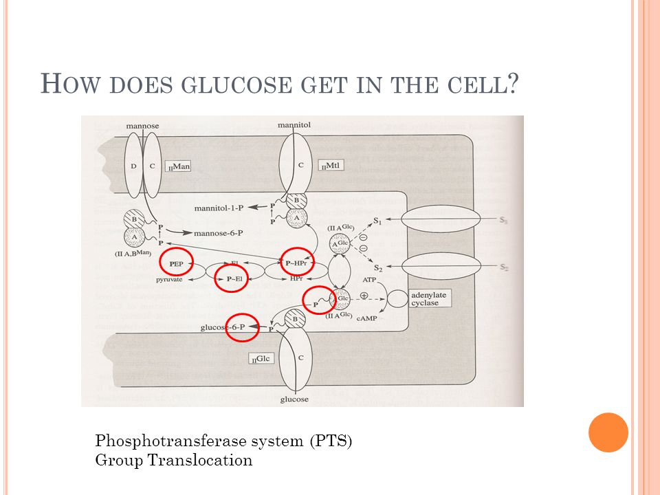 H OW DOES GLUCOSE GET IN THE CELL Phosphotransferase system (PTS) Group Translocation