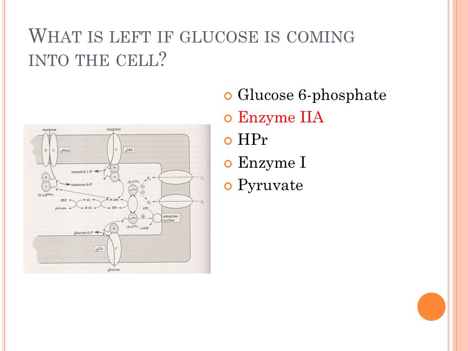 W HAT IS LEFT IF GLUCOSE IS COMING INTO THE CELL ? Glucose 6-phosphate Enzyme IIA HPr Enzyme I Pyruvate