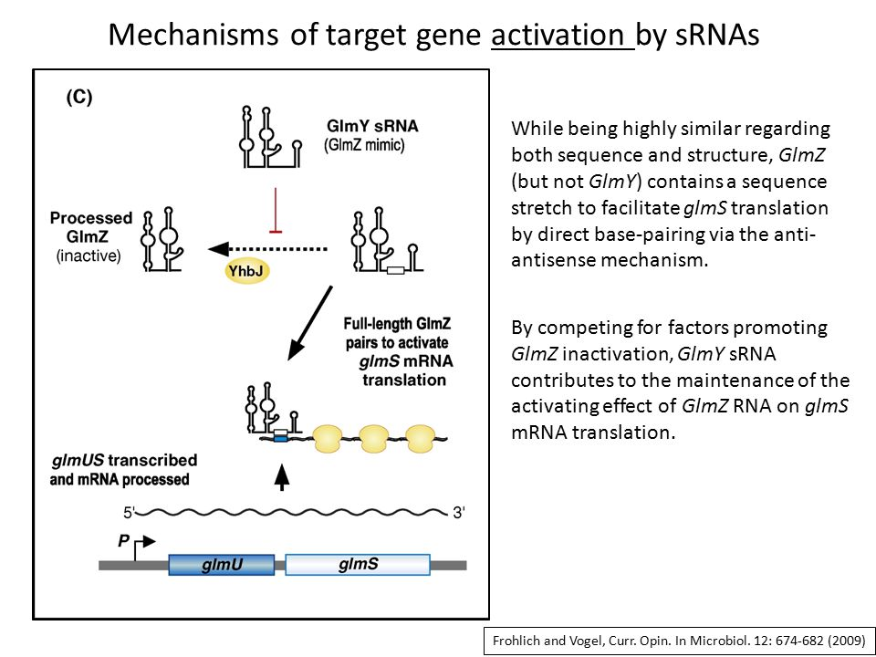 Mechanisms of target gene activation by sRNAs While being highly similar regarding both sequence and structure, GlmZ (but not GlmY) contains a sequence stretch to facilitate glmS translation by direct base-pairing via the anti- antisense mechanism.