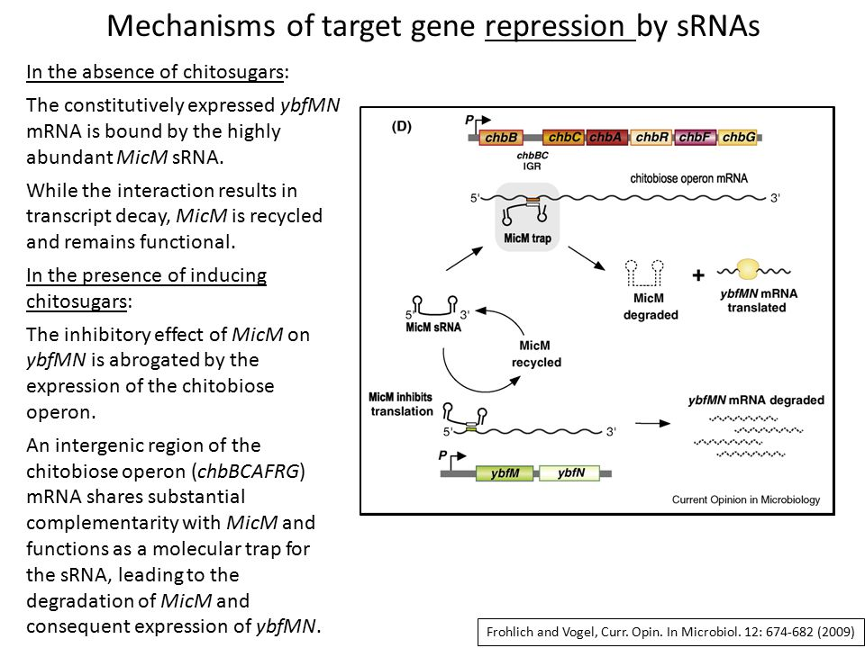 Mechanisms of target gene repression by sRNAs In the absence of chitosugars: The constitutively expressed ybfMN mRNA is bound by the highly abundant MicM sRNA.