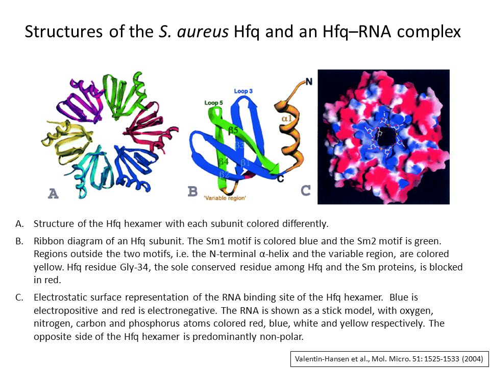 A.Structure of the Hfq hexamer with each subunit colored differently.