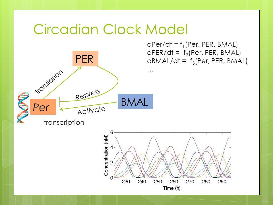 Circadian Clock Model Per PER BMAL Activate Repress dPer/dt = f 1 (Per, PER, BMAL) dPER/dt = f 2 (Per, PER, BMAL) dBMAL/dt = f 3 (Per, PER, BMAL) … transcription translation