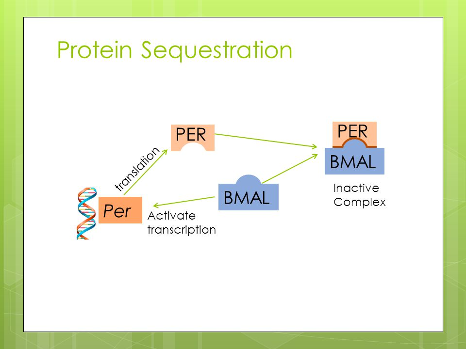 Protein Sequestration Per BMAL Activate transcription PER BMAL translation Inactive Complex